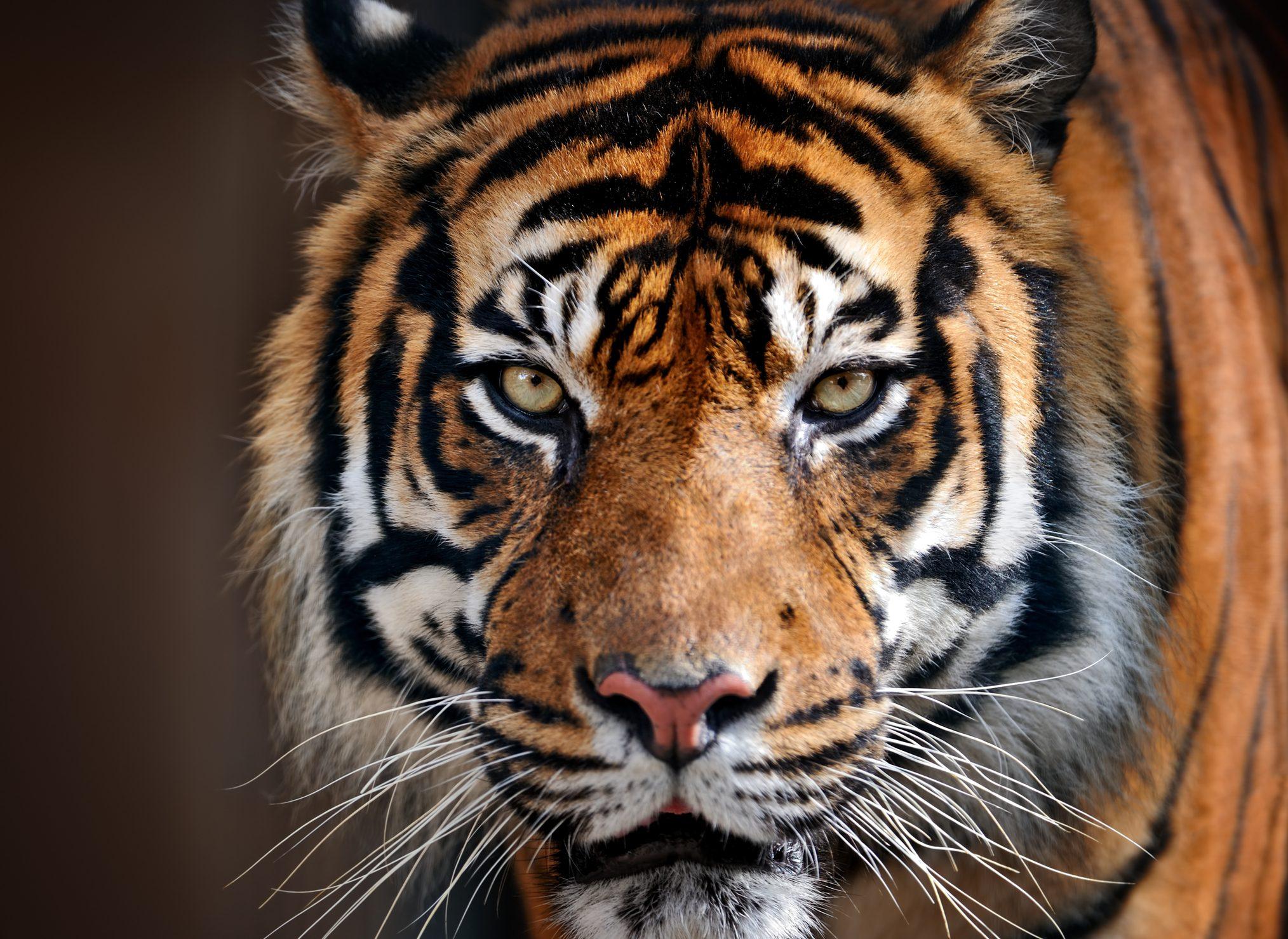 Animali in estinzione: la tigre bella e regale ma sempre più rara