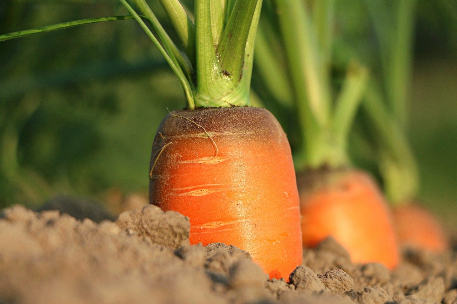 Come Coltivare Pomodori Sul Balcone come coltivare le carote (anche sul balcone di casa) | ohga!