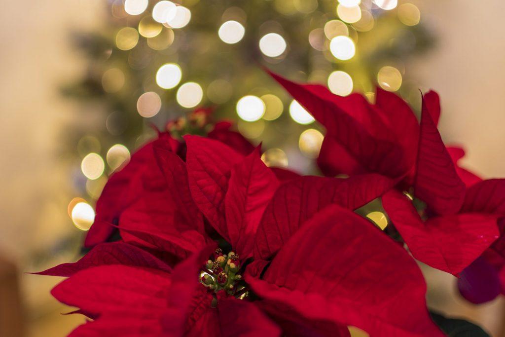 Significato Della Stella Di Natale.Le Piante Di Natale Simbolo Delle Feste Che Puoi Regalare O Tenere