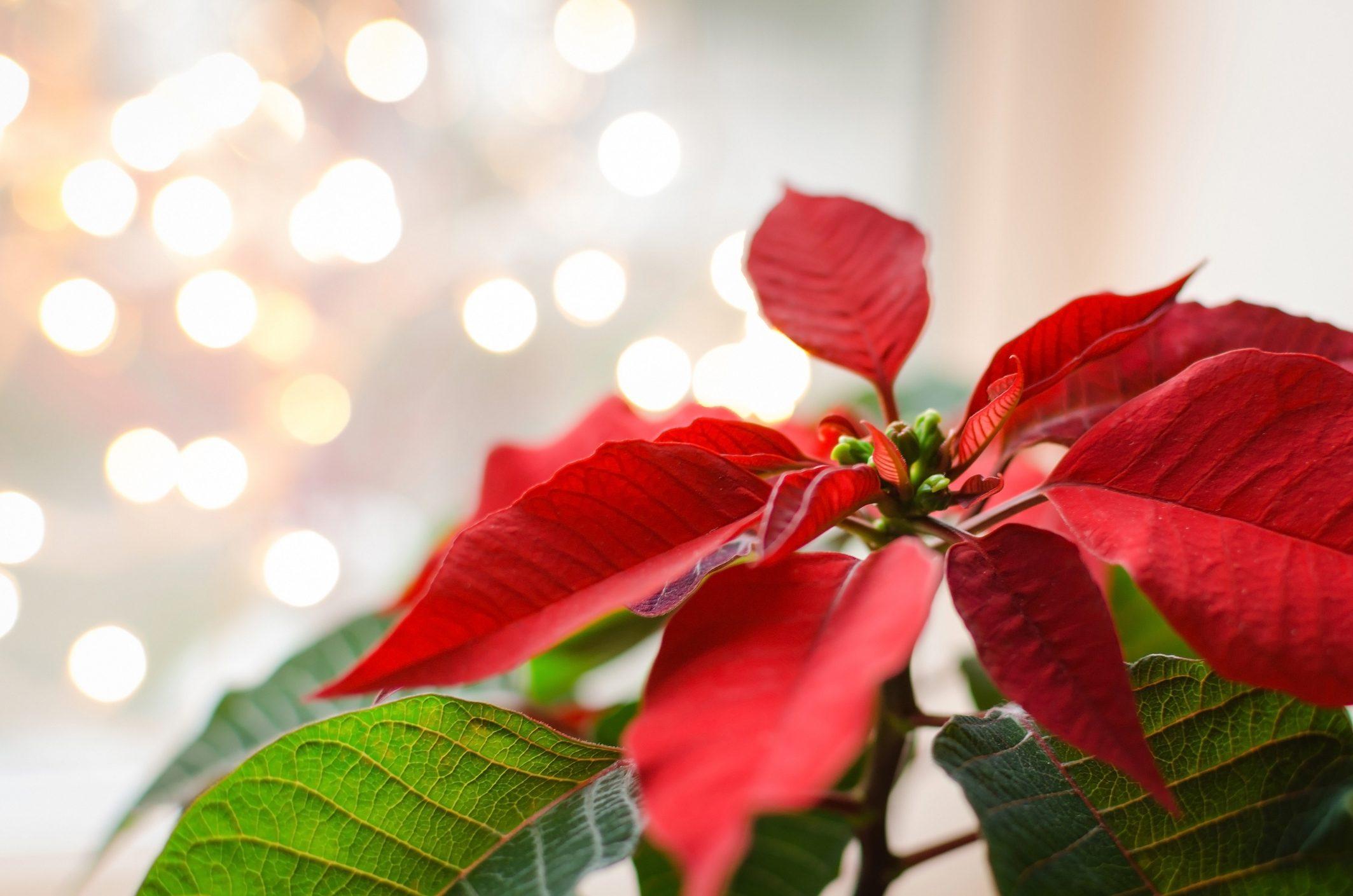 Significato Della Stella Di Natale.Come Si Cura La Stella Di Natale Scopri Come Non Fare Figuracce Con