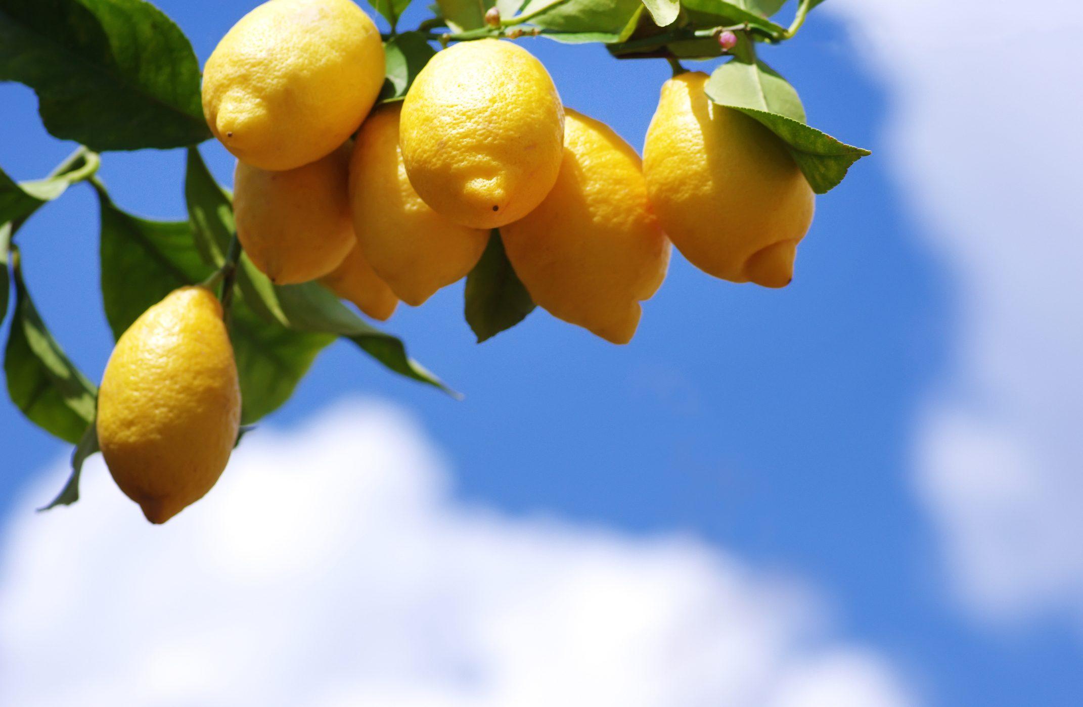 Come Curare Le Piante come curare la pianta di limone: in vaso o in giardino, l