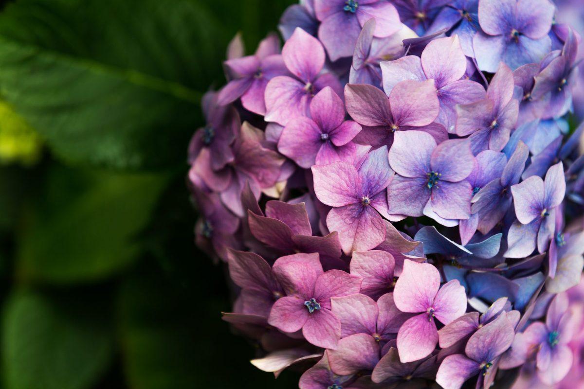 Ortensie Bianche Come Curarle ortensia: come coltivarla in vaso o in giardino e quando