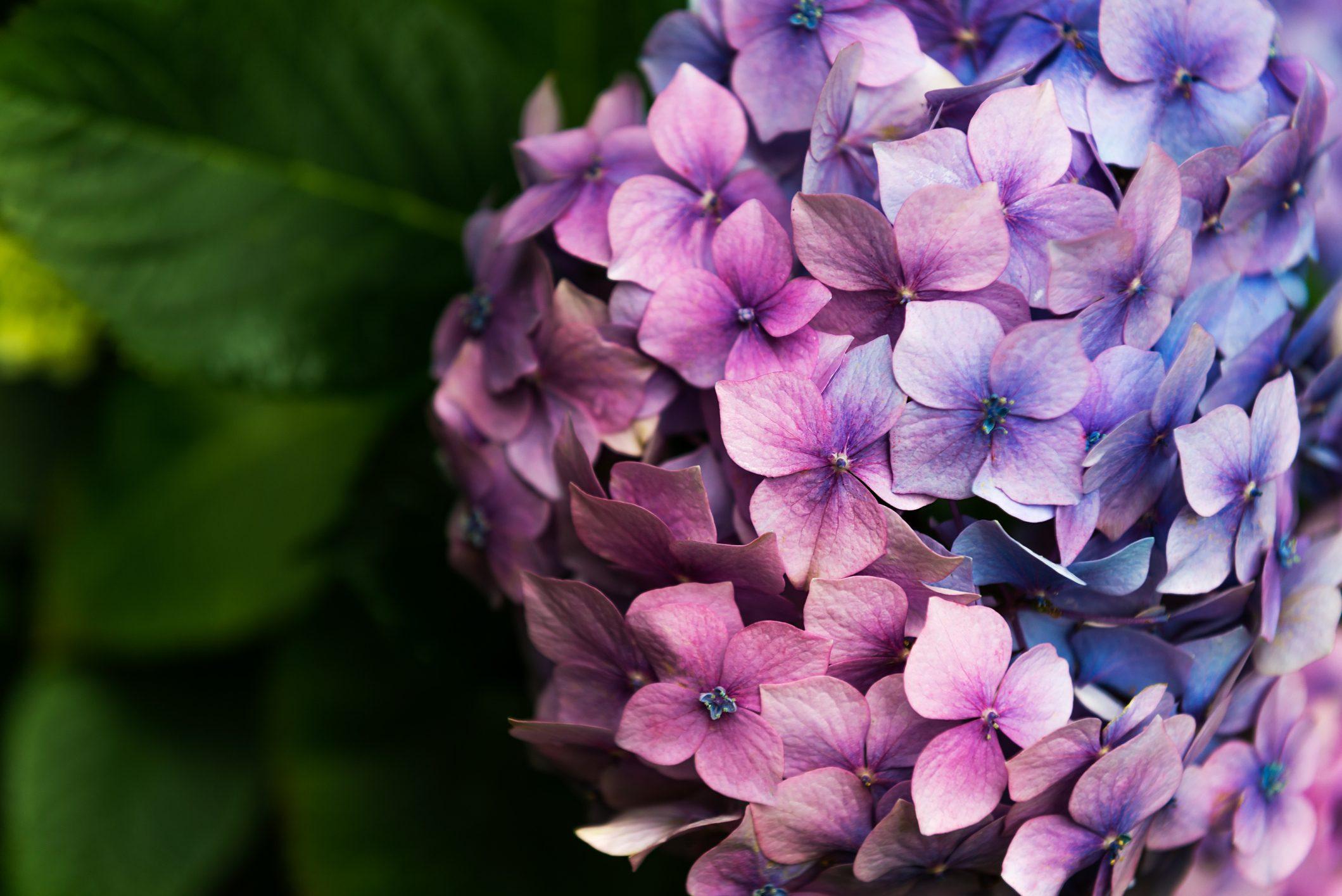 Fiori Da Balcone Ombra ortensia: come coltivarla in vaso o in giardino e quando