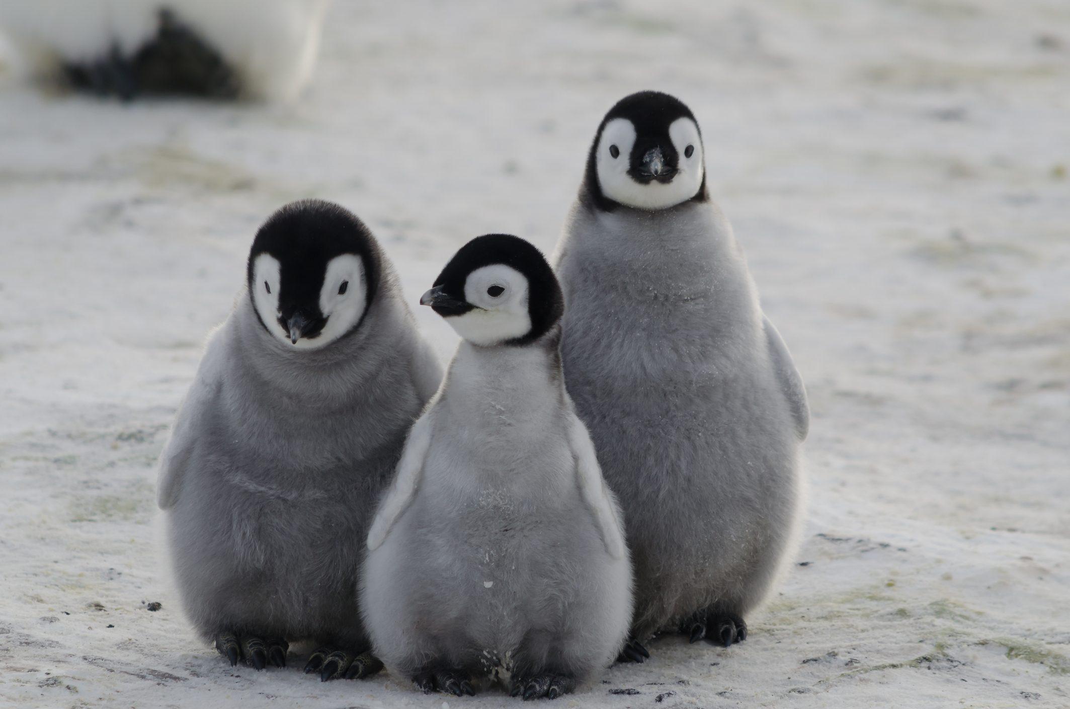 Risultato immagini per PINGUINI
