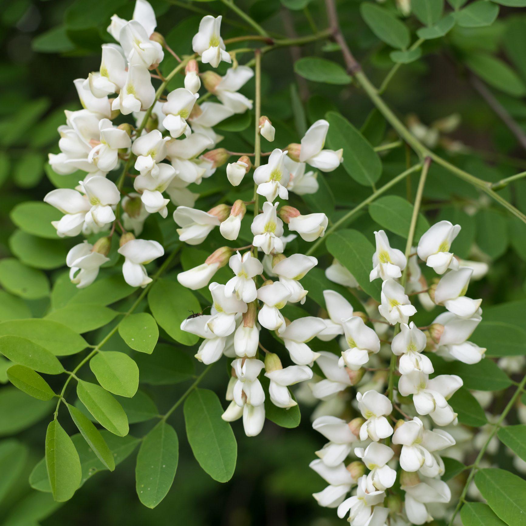 Fiori Selvatici Foto E Nomi le proprietà dei fiori di acacia: i benefici e le