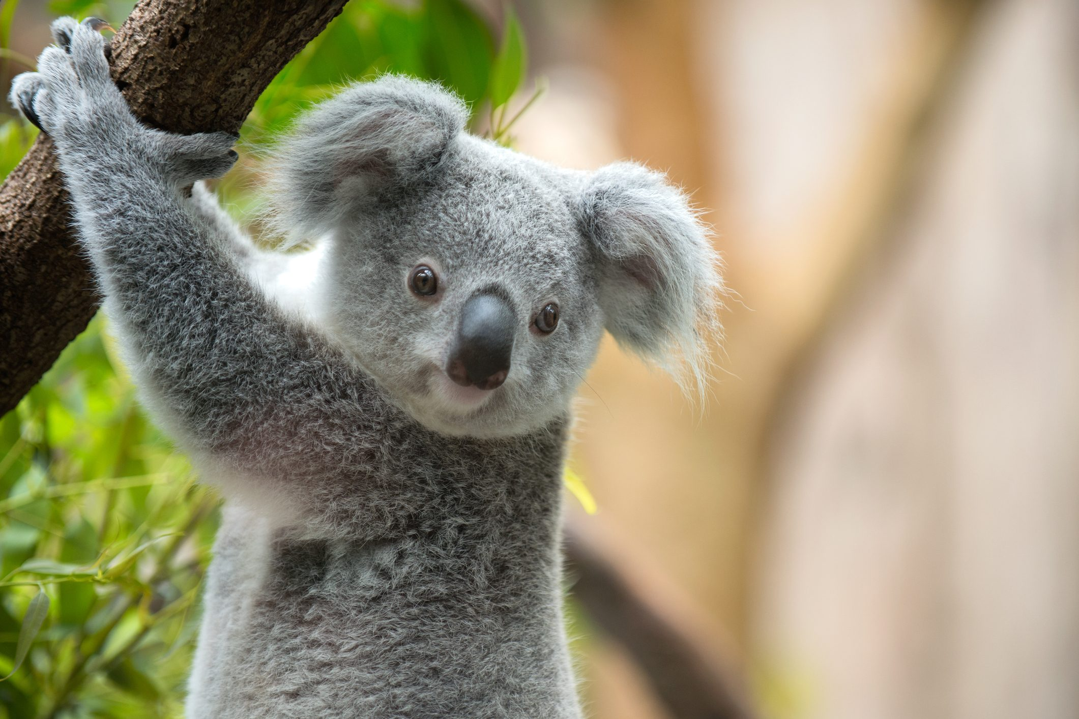 """Risultato immagini per koala"""""""
