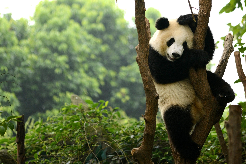 Risultati immagini per riserva dei panda