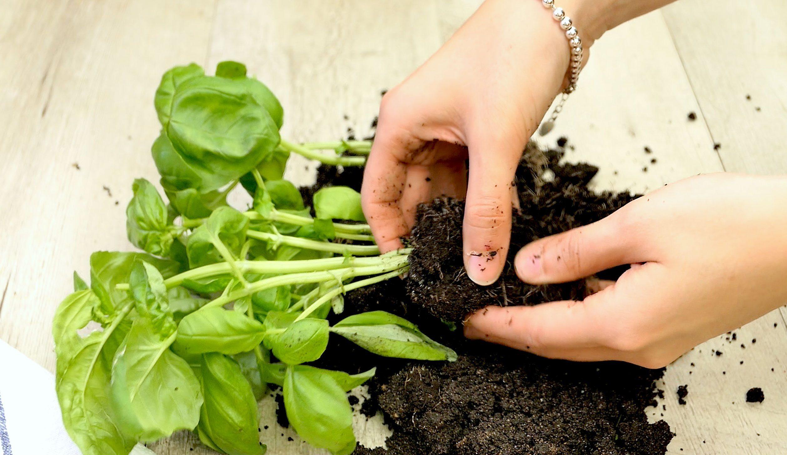 Come Coltivare Pomodori Sul Balcone come coltivare il basilico sul tuo balcone e mantenerlo a lungo