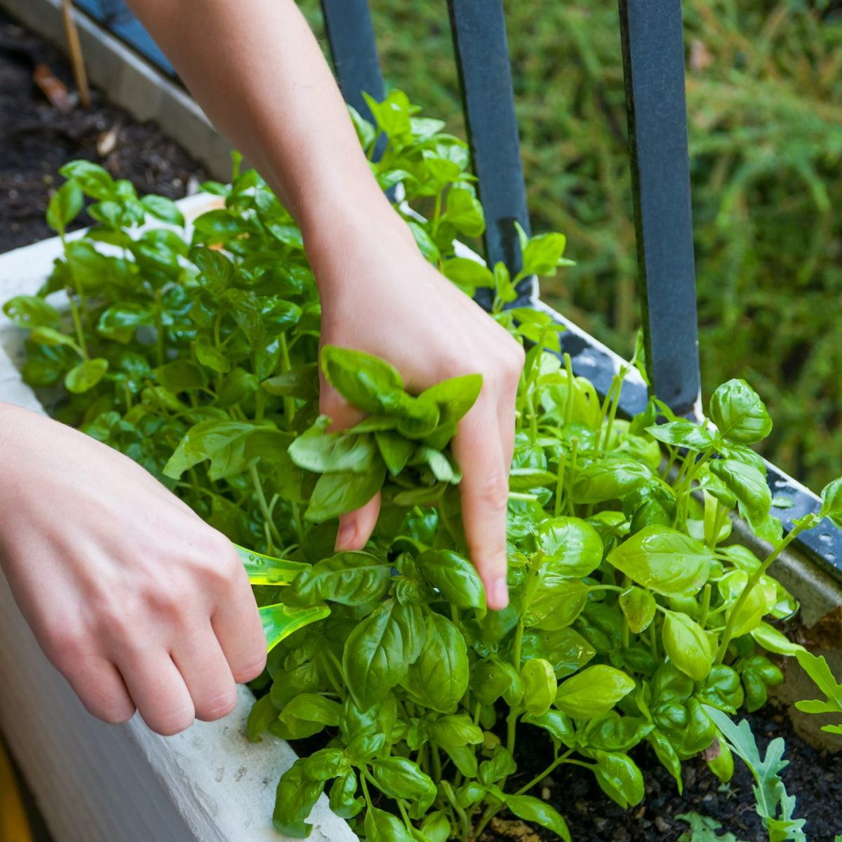 Coltivare In Casa Piante Aromatiche come coltivare le erbe aromatiche in balcone: i consigli per