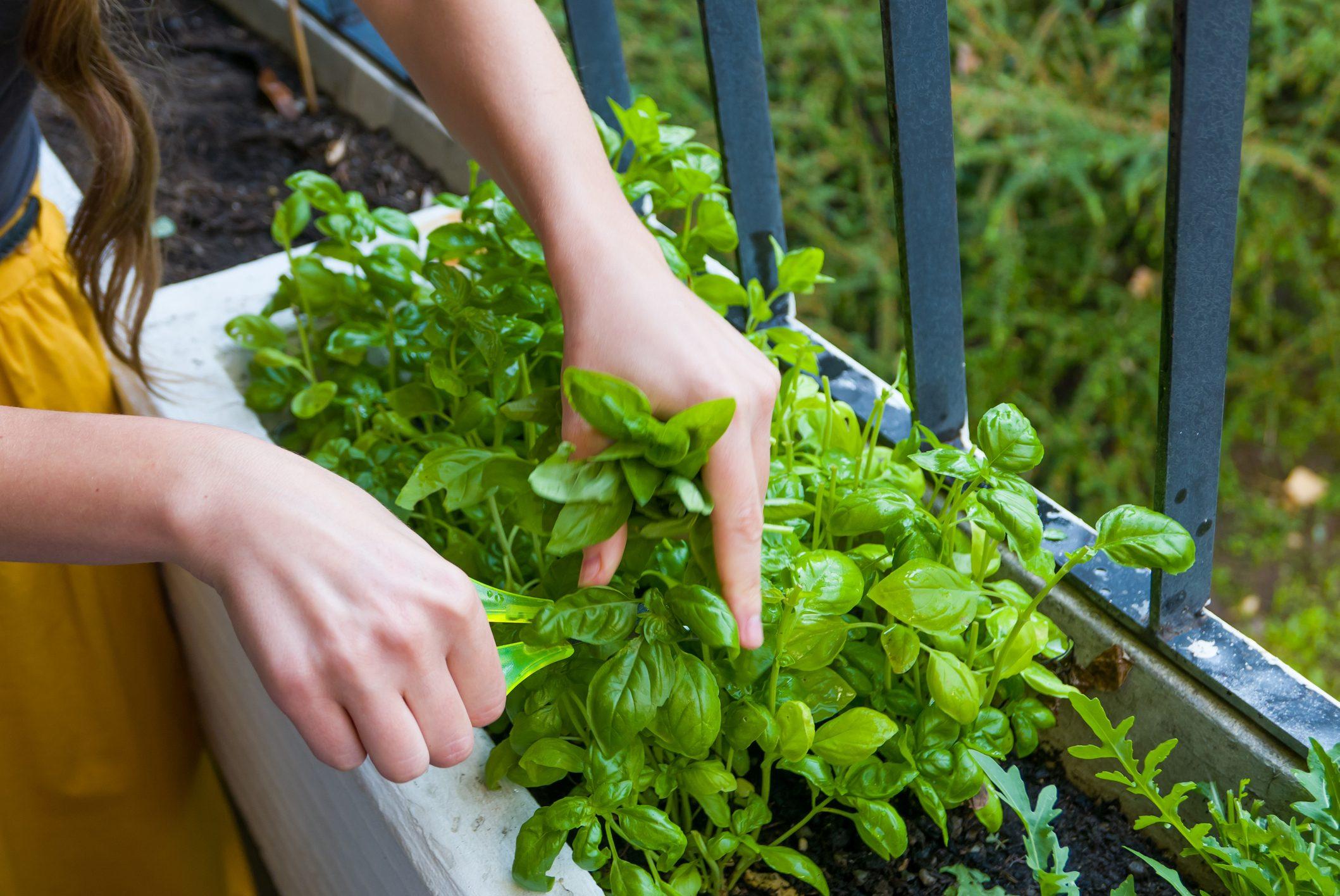 Quando Posso Potare Il Rosmarino come coltivare le erbe aromatiche in balcone: i consigli per