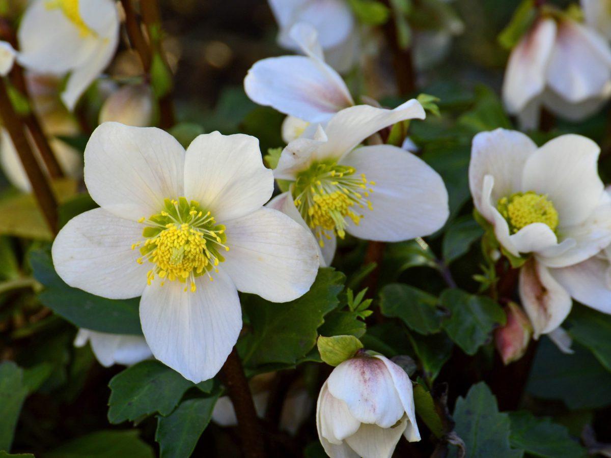 Rose Rampicanti Senza Spine elleboro il significato della pianta chiamata rosa di natale