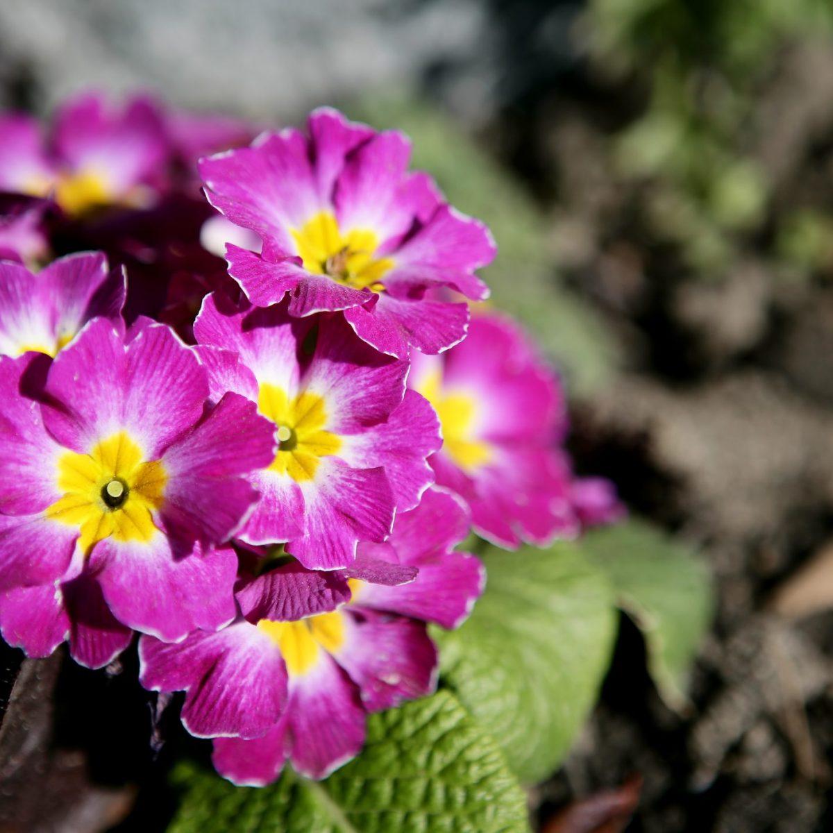 Fiori Che Amano Il Sole la primula, il fiore che annuncia la primavera e che si