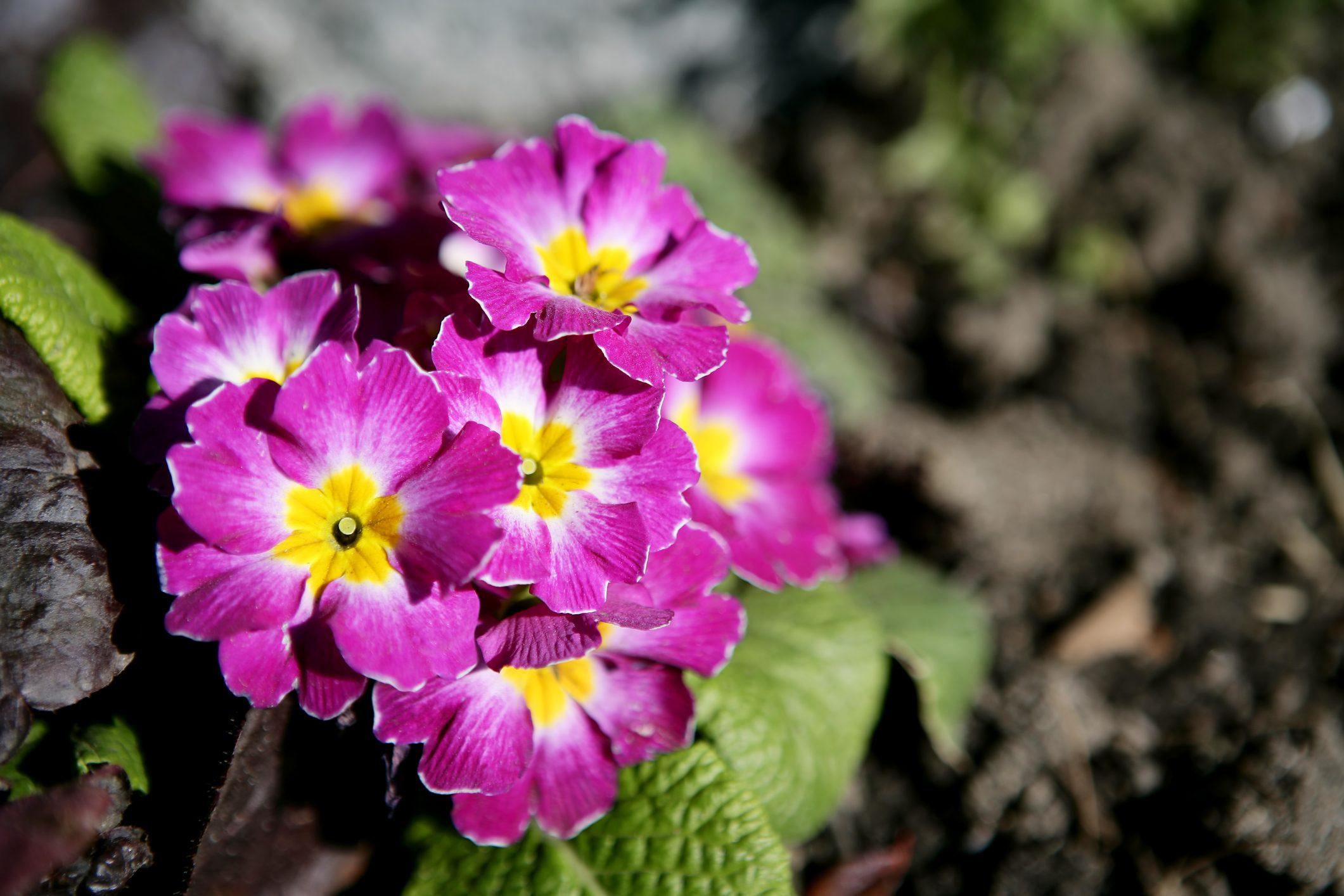 Piante Che Fioriscono Tutta Estate la primula, il fiore che annuncia la primavera e che si