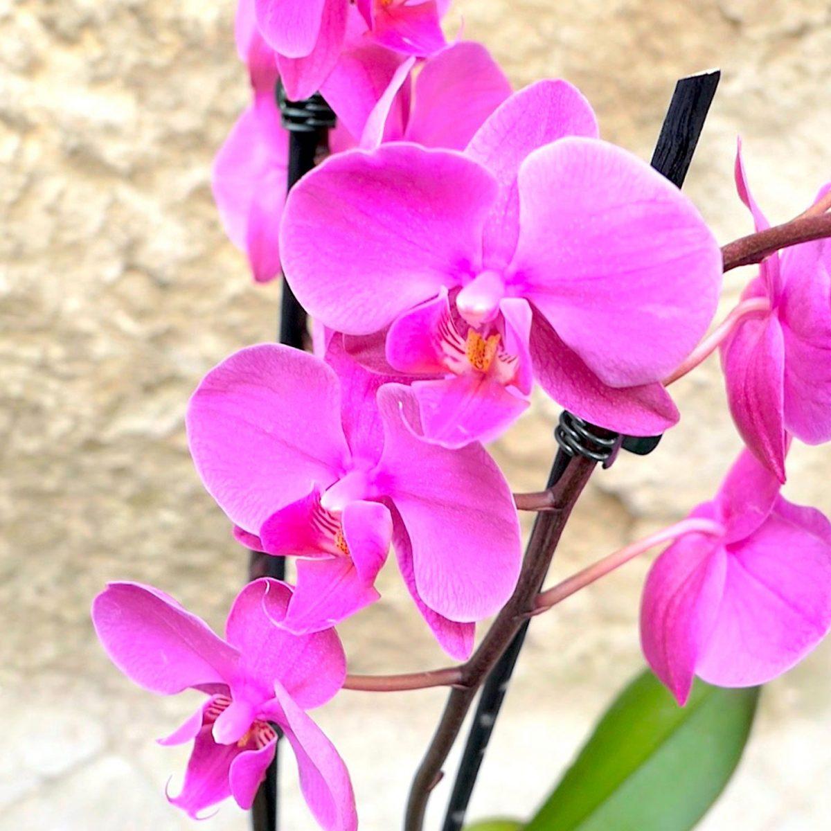 Come Far Morire Una Pianta orchidea: i segreti per coltivarla in casa e non farla
