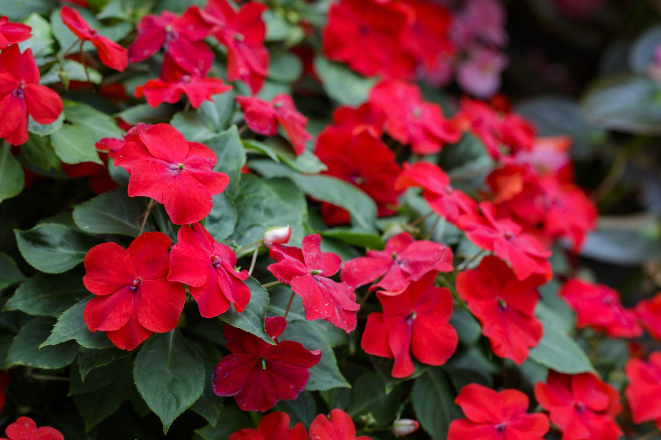 Barba Di Giove Sempreverde 5 piante che dovresti tenere nella tua cucina | ohga!