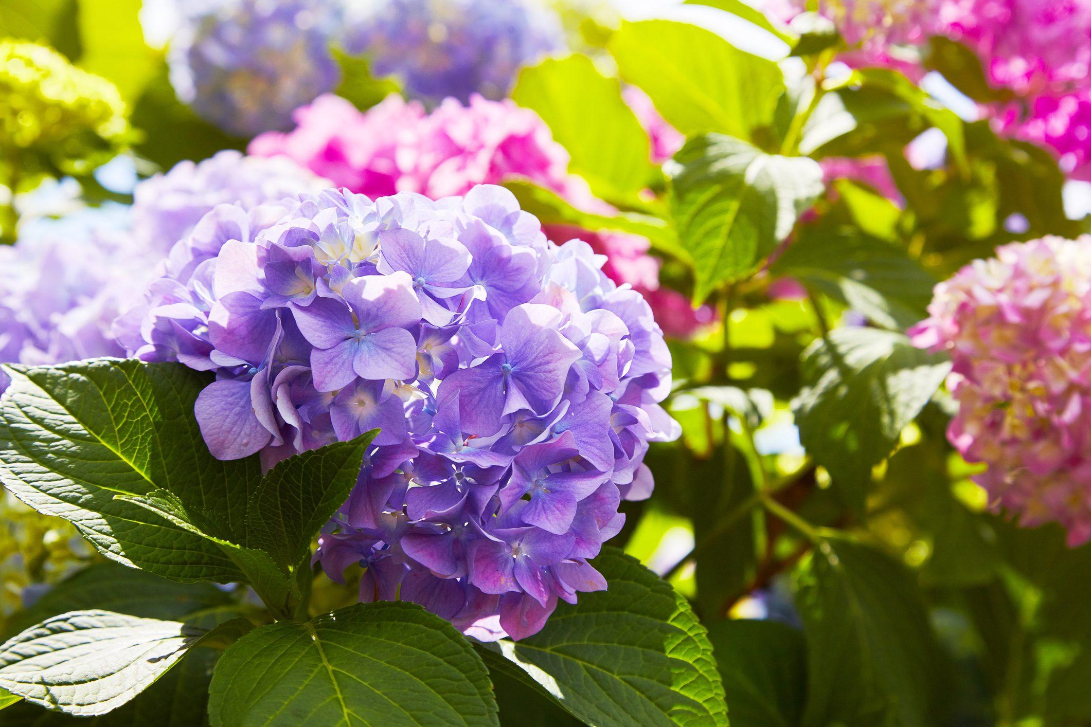 Fiori Campanelle Da Balcone piante | ohga!