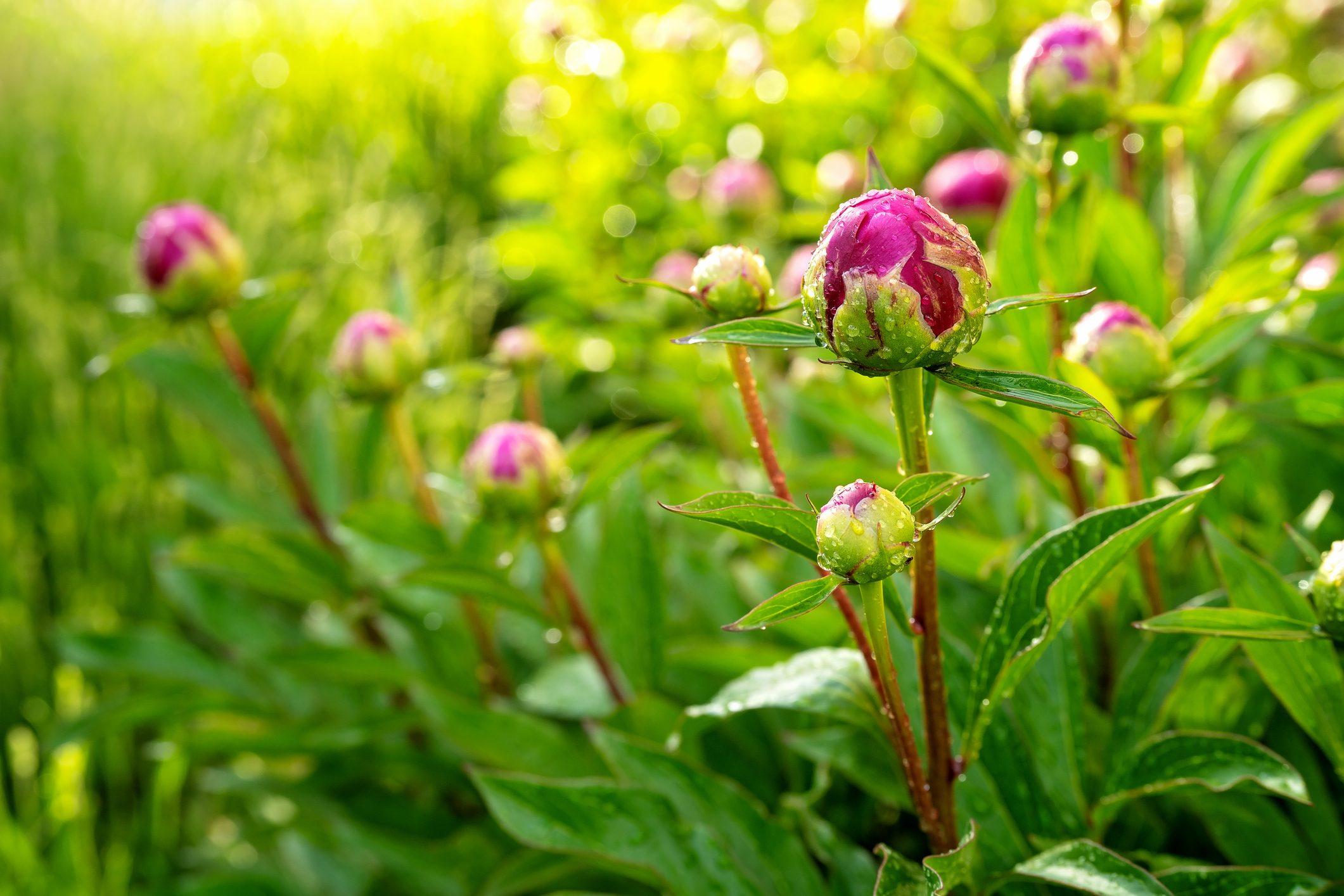 Rampicanti Che Crescono All Ombra come coltivare la peonia | ohga!