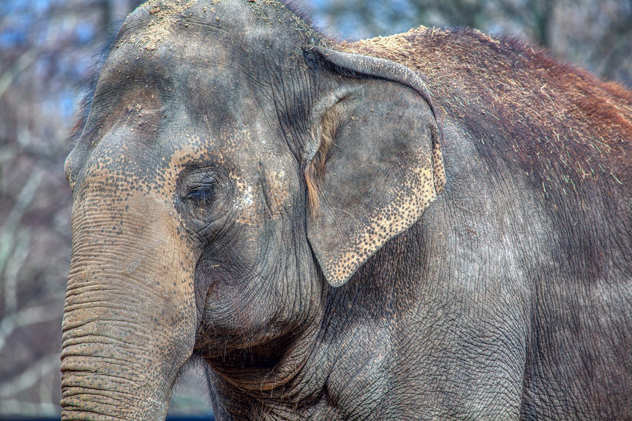 Elefantessa incinta muore in India e perde il cucciolo: è stata uccisa ...