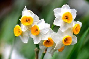 narciso-bianco