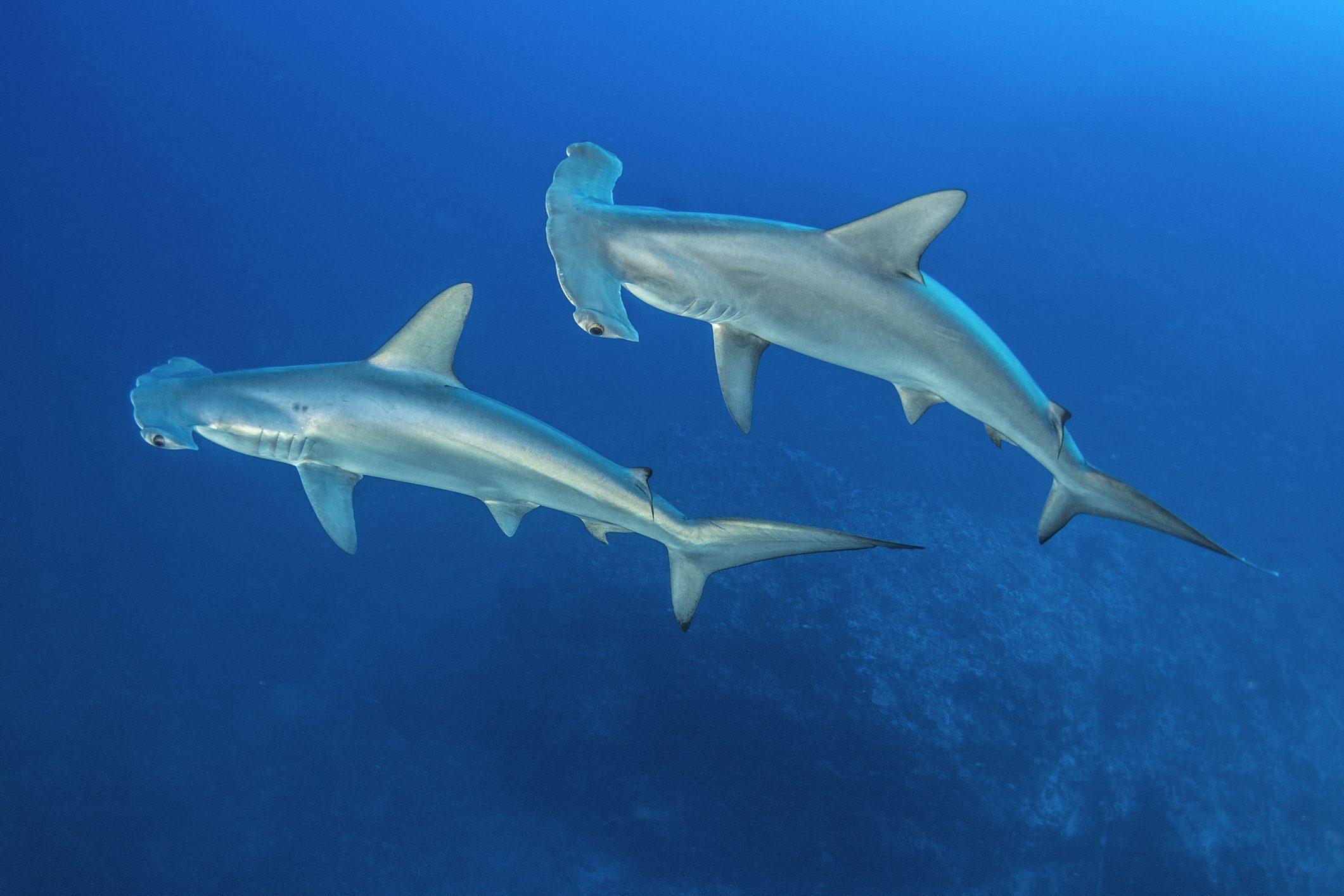 squali martello Sicilia avvistamento