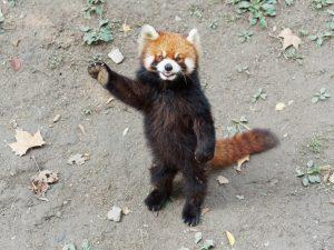 panda-rosso-in-piedi