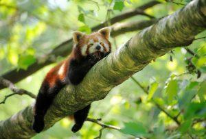 panda-rosso-alberi