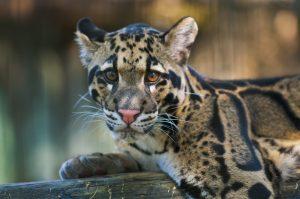 leopardo-nebuloso-cucciolo