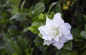 gardenia-jasminoides-coltivazione
