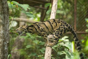 leopardo-nebuloso-caratteristiche