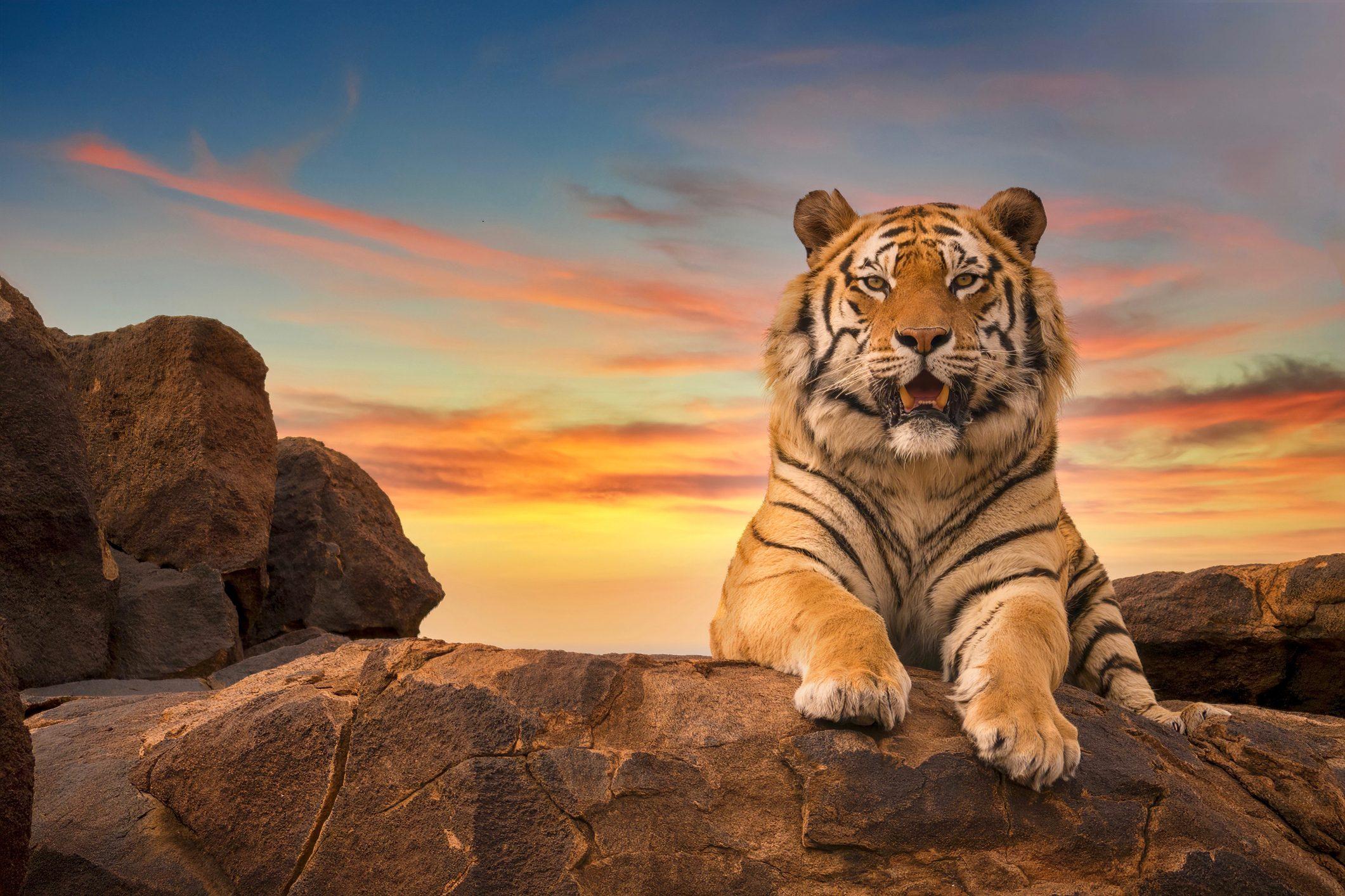 tigre-del-bengala-cover