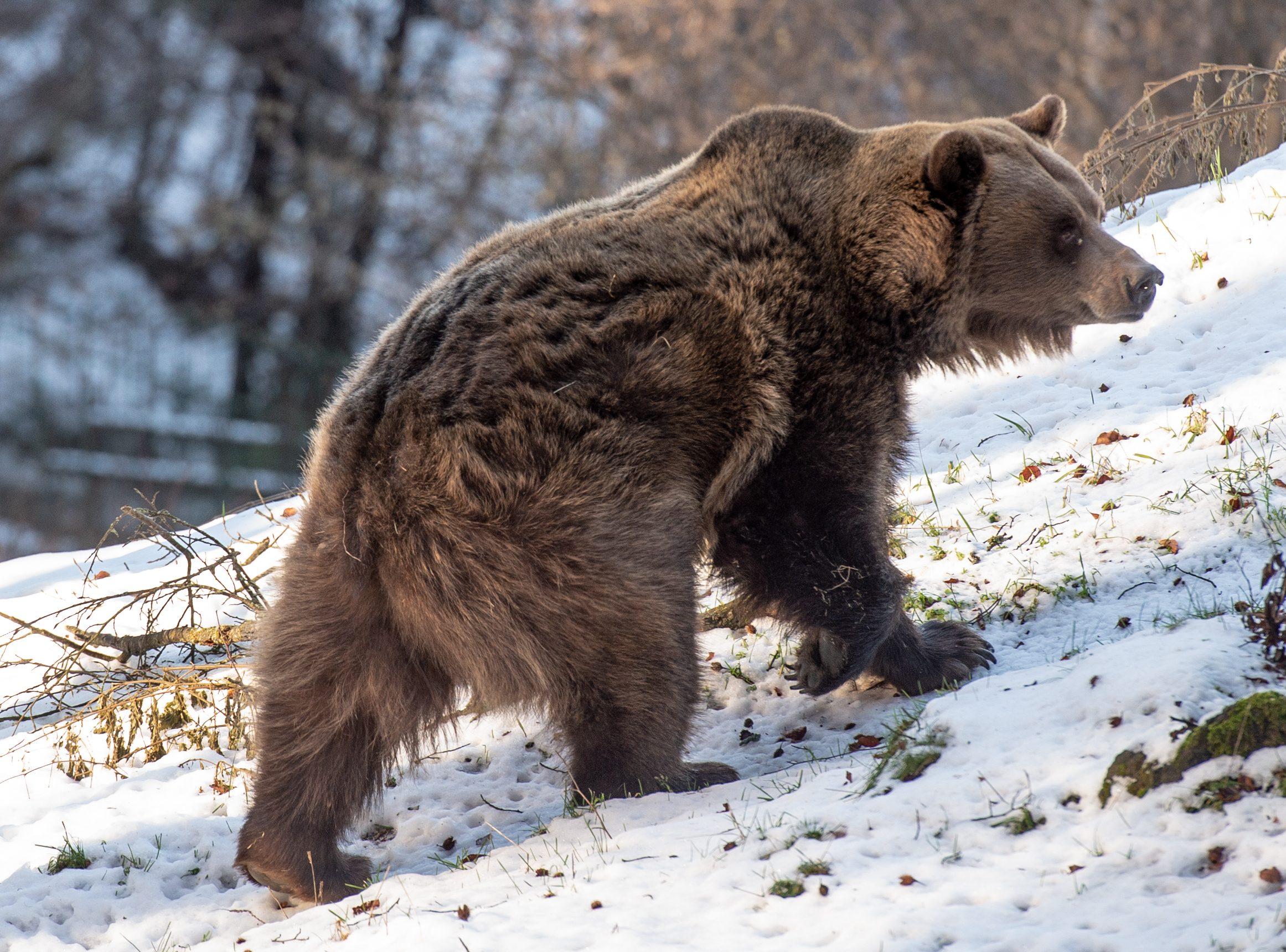 orso-bruno-sentenza-tar-trento