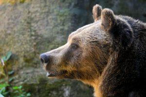 orso-marsicano-carattere