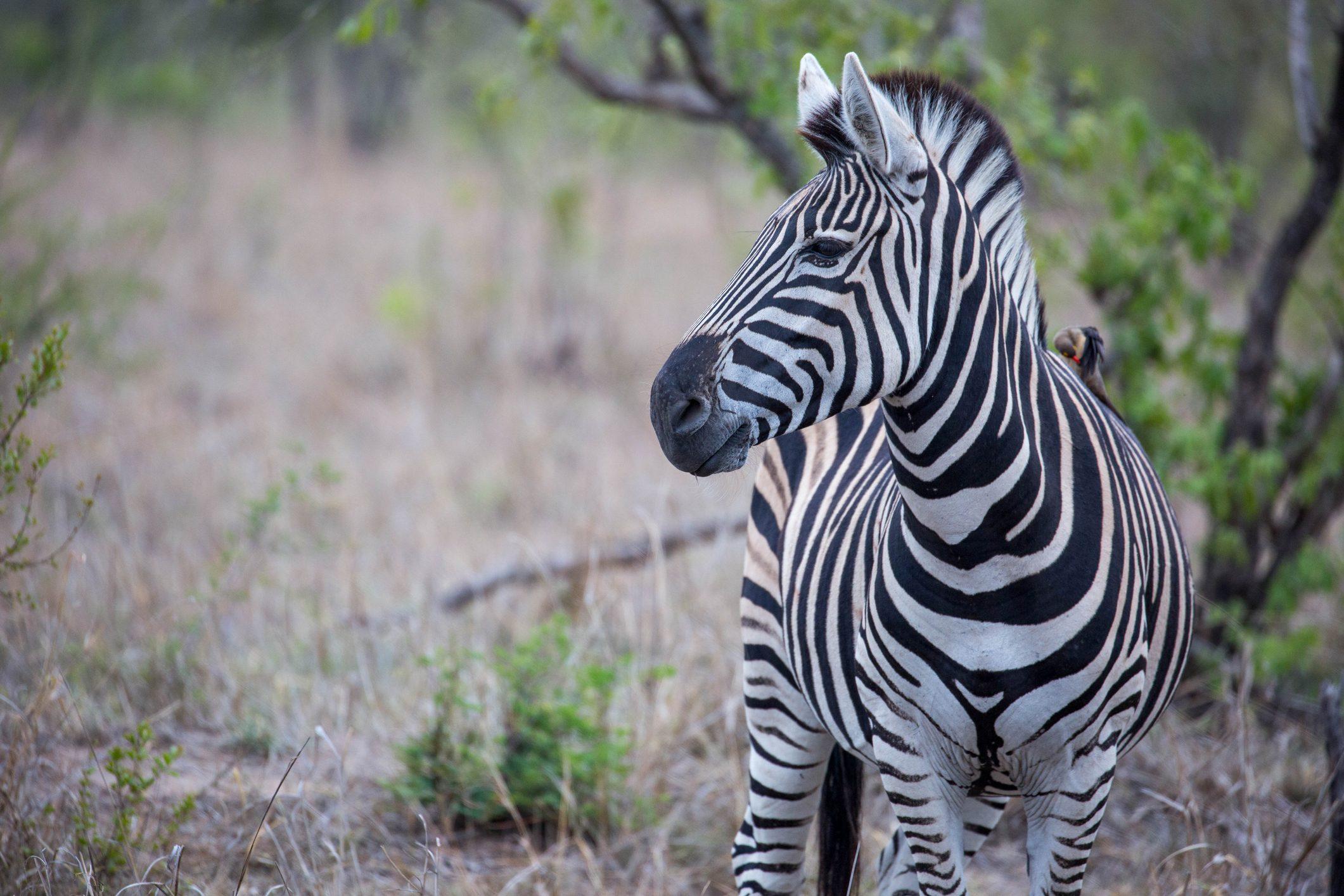 zebra-cover
