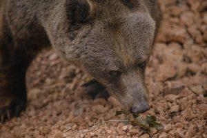 orso-bruno-marsicano-estinzione