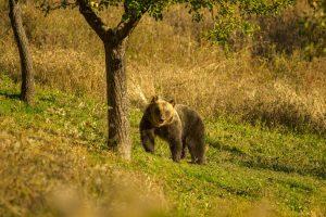 orso-marsicano-dimensioni